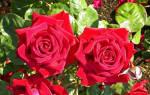 Как посадить розу танец огня