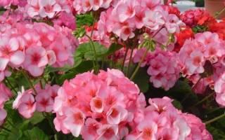 Калач цветок комнатный