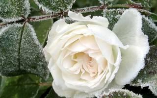 Нужно ли укрывать розы на зиму