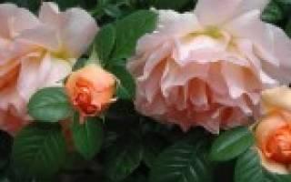 Агротехника выращивания роз