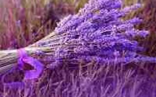 Цветок лаванда – описание