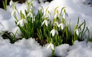 Какие цветки распускаются весной первыми пролески и белоцветники
