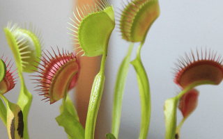 Мухоловка растение в домашних условиях уход