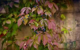 Как размножить девичий виноград черенками