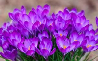 Цветы похожие на тюльпаны