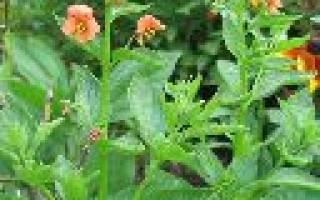 Цветы оранжевого цвета названия и фото