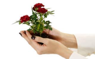Как посадить отросток розы дома