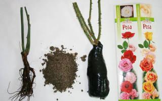 Как правильно посадить розы купленные в магазине
