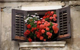 Комнатные цветы пеларгония уход и размножение