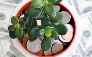 Денежное дерево комнатное растение как ухаживать