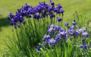 Принципы выращивания ирисов
