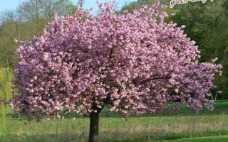 Магнолия голая или обнаженная magnolia denudata
