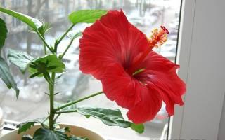 Как правильно посадить гибискус комнатный