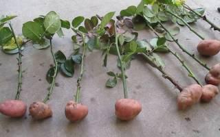Как размножать розы черенками в картошке
