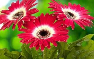 Почему не цветет гербера комнатная