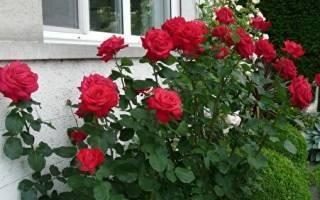 Dame de coeur роза