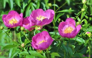 Пионы выращивание нежнейших цветов