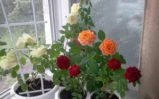 Какие розы разводят и выращивают в комнате