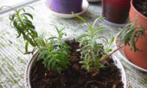 Стратификация семян лаванды в домашних условиях