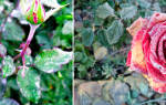 Мучнистая роса на розах лечение народными средствами