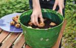 Сорта гладиолусов для посадки в горшки