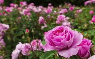 Когда лучше сажать розы осенью или весной
