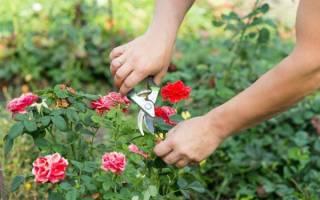 Инструкция как пересадить большую или старую розу