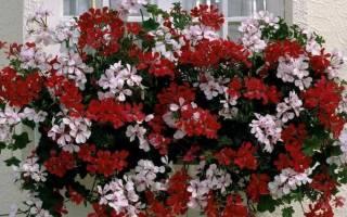 Растения для подвесных кашпо уличные