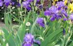 Нужно ли ухаживать за ирисами после цветения