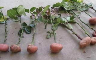 Как укоренить черенок розы в картошке