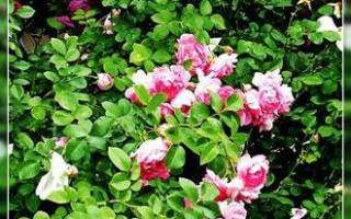 Как правильно выбрать саженцы роз для посадки
