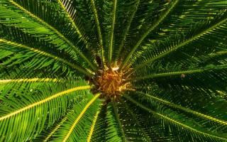 Пальмовое дерево комнатное