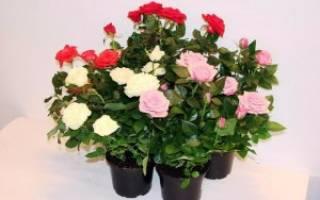Как ухаживать за декоративной розой в горшке