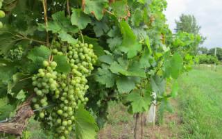 Осенняя посадка винограда черенками