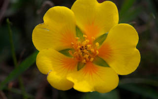 Цветок лапчатка – описание