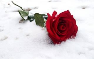 Какой мороз выдерживают розы без укрытия