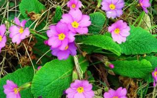 Самые популярные многолетники цветущие весной