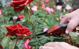 Как ухаживать за срезанными розами