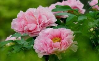 Цветки пионов особенности и разновидности