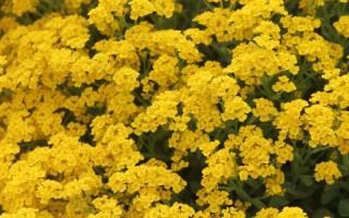 Ботаническое описание алиссума с фото