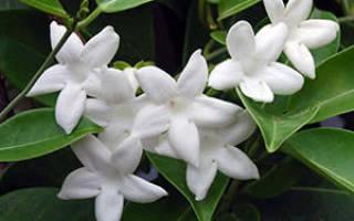 Комнатный цветок стефанотис уход