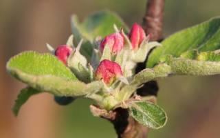 Заготовка черенков яблони для прививки весной