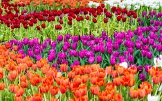 Выбор сорта тюльпанов для зимней выгонки