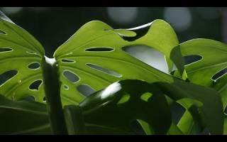Монстера пересадка взрослого растения