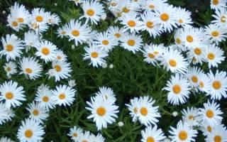 Нивяник описание растения