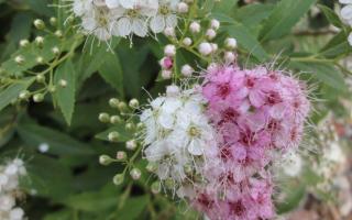 Виды спиреи по времени цветения