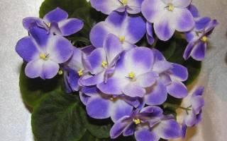 Комнатные цветы фиалки уход и размножение