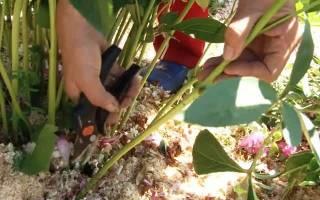 Размножение пионов стеблевыми черенками