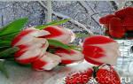 Выбор сортов тюльпанов для выгонки