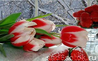 1 что такое выгонка тюльпанов